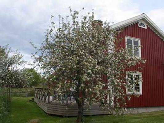 Övrig - Äppelträd i trädgården