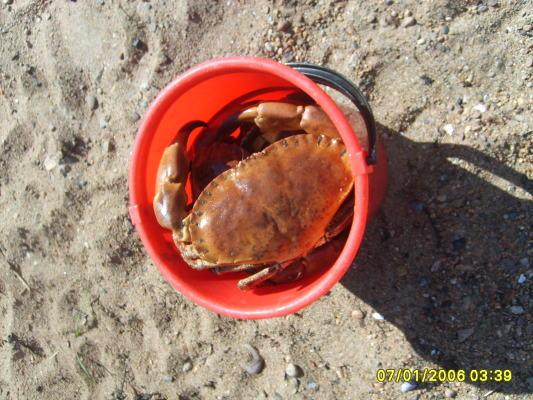 på sommaren - Så här stora är krabborna som vi drar upp. Fiska själv, koka och ät. Behöver du hjälp så ställer vi gärna upp