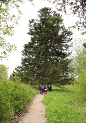 Omgivning - Sveriges största gran i Hedners Park i Asby