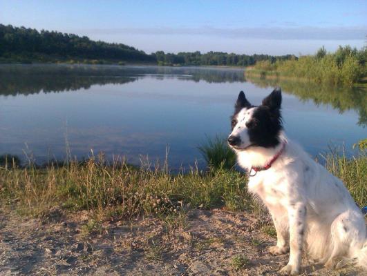 på sommaren - Ägarens hund på morgonpromenad vid sjön.