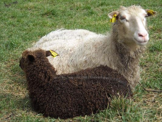 Utomhus - Tacka med lamm i juni