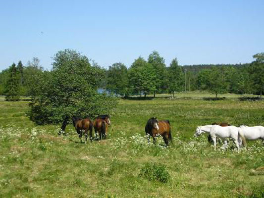 på sommaren - Hästar på bete