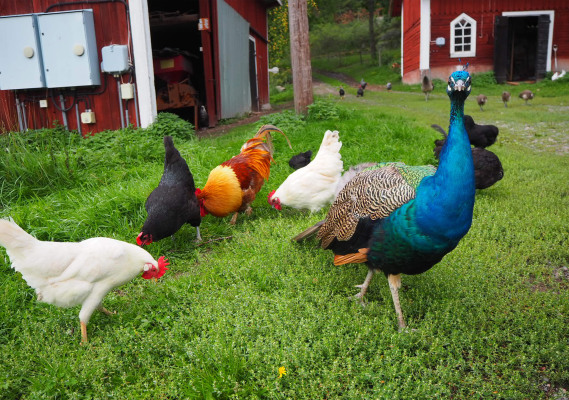 Other - Häradssätter Gård is a small farm with chickens, peacocks and cows in summer.