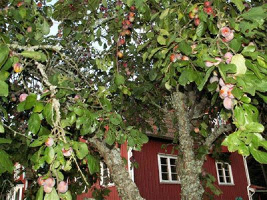 Utomhus - fruktträd