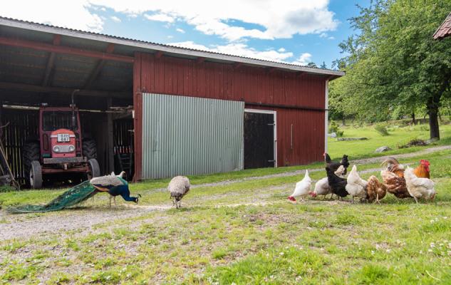 Övrig - Häradssätter Gård är en liten gård med kycklingar, påfåglar och får som betar på sommaren.