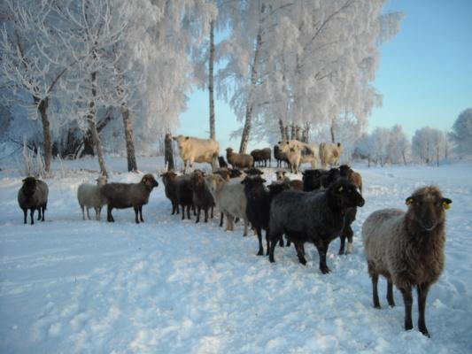 Utomhus - Ryafåren tycker om att vara ute på vintern.