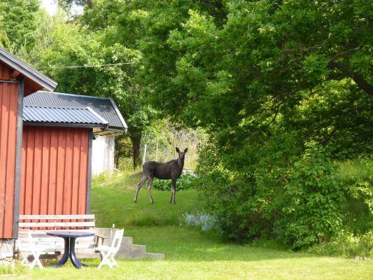 På sommaren - Fjolårskalv av älg i trädgården