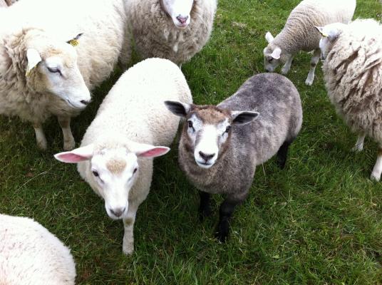 Övrig - På sommaren betar fåren i hagarna.