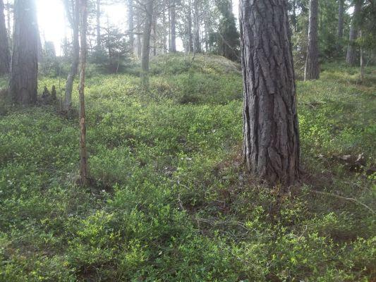 på sommaren - mycket blåbär att plocka i slutet av juli/augusti