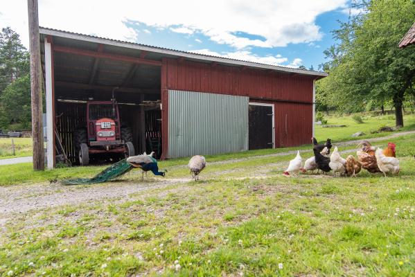 Omgivning - Haradssätter Gård är ett litet självhushåll med höns,påfåglar och får som betar om somrarna.