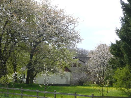 På sommaren - Grönhems gård insvept i körsbärsblom i början av juni. Boningshuset och stallet skymtas.