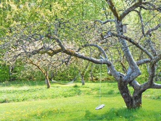 på sommaren - barngunga i äppelträdet