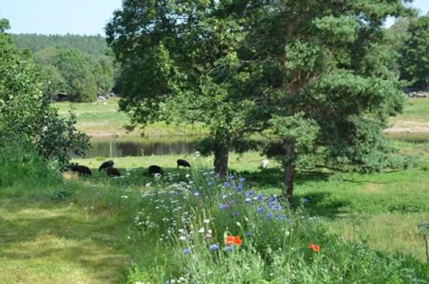 på sommaren - Fåren som betar framför dammen, nedanför Farfarstugans altan.