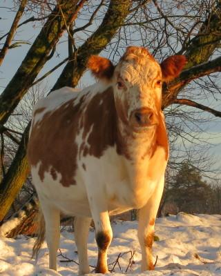 Utomhus - På gården finns fjällnära kor, en gammal lantras