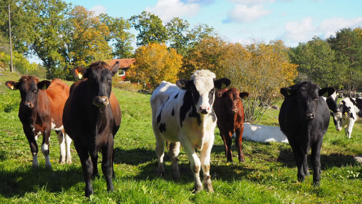 Other - The cows graze the pasture in summer and autumn.